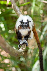 Portrait of a wild Cotton-top tamarin (Saguinus oedipus) standing on a branch in dry tropical forest of Colombia, South America IUCN List: Critically Endangered  -  Lisa Hoffner