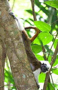 Portrait of wild Cotton-top tamarin (Saguinus oedipus) stretching in dry tropical forest of Colombia, South America IUCN List: Critically Endangered  -  Lisa Hoffner