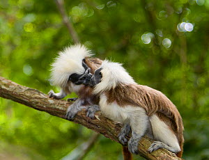 Two Wild Cotton-top tamarins (Saguinus oedipus) face-pressing (never before photographed behaviour). Colombia, South America IUCN List: Critically Endangered  -  Lisa Hoffner