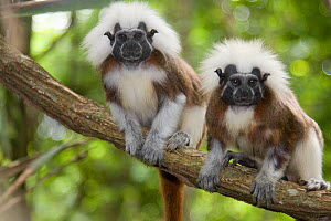 Portrait of two wild Cotton-top Tamarins (Saguinus Oedipus) resting on vine in tropical dry forest of Colombia, South America. IUCN List: Critically Endangered  -  Lisa Hoffner