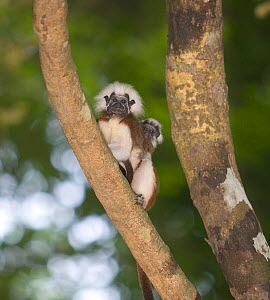 Wild Cotton-top tamarin (Saguinus oedipus) male carrying a baby on his back in the dry tropical forest of Colombia, South America. IUCN List: Critically Endangered  -  Lisa Hoffner
