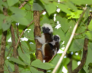 Wild Cotton-top tamarin (Saguinus oedipus) carrying a baby on its back in the dry tropical forest of Colombia, South America. IUCN List: Critically Endangered  -  Lisa Hoffner