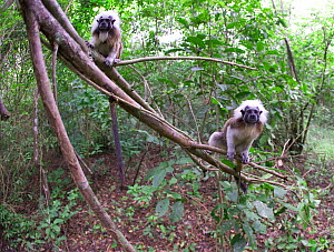 Wild Cotton-top tamarins (Saguinus oedipus) climbing up fallen branches in dry tropical forest of Colombia, South America. IUCN List: Critically Endangered  -  Lisa Hoffner
