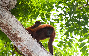 Red howler monkey (Alouatta seniculus) with baby on back, in the dry tropical forest of Colombia, South America.  -  Lisa Hoffner