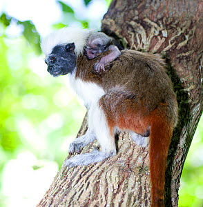 Wild Cotton-top Tamarin (Saguinus Oedipus) with very young baby on its back, resting on vine in tropical dry forest of Colombia, South America. IUCN List: Critically Endangered  -  Lisa Hoffner