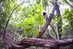 Wild Cotton-top Tamarin (Saguinus Oedipus) on vine, in tropical dry forest of Colombia, South America. IUCN List: Critically Endangered  -  Lisa Hoffner