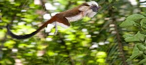 Wild Cotton-top tamarin (Saguinus oedipus) appears to fly through the air as it jumps from branch to branch in the dry tropical forest of Colombia, South America IUCN List: Critically Endangered  -  Lisa Hoffner