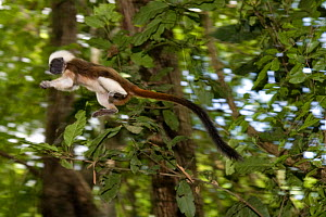 Wild Cotton-top tamarin (Saguinus oedipus) appears to fly through the air as it jumps from branch to branch in the dry tropical forest of Colombia, South America. IUCN List: Critically Endangered  -  Lisa Hoffner