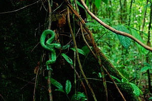 Wagler's / Temple pit viper (Tropidolaemus wagleri) in lowland rainforest, Gunung Palung National Park, Borneo, West Kalimantan, Indonesia - Tim Laman