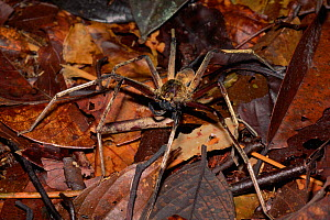 Huntsman spider (Sparassidae) on leaf litter on the rainforest floor, Gunung Palung National Park, Borneo, West Kalimantan, Indonesia - Tim Laman
