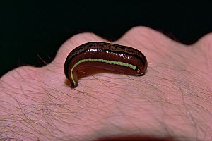 Borneo Tiger leech (Haemadipsa picta) engorged with blood opn human hand, Gunung Palung National Park, Borneo, West Kalimantan, Indonesia  -  Tim Laman