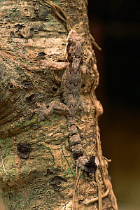 Kuhl's flying gecko (Ptychozoon kuhlii) camouflaged on tree trunk in lowland rainforest, Gunung Palung National Park, Borneo, West Kalimantan, Indonesia - Tim Laman