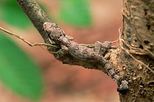 Kuhl's flying gecko (Ptychozoon kuhlii) camouflaged on branch in lowland rainforest, Gunung Palung National Park, Borneo, West Kalimantan, Indonesia - Tim Laman