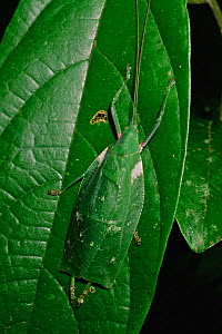 Katydid (Tettigonidae) with green leaf pattern on its wings, lying flattened and camouflaged against a leaf. Gunung Palung National Park, Borneo, West Kalimantan, Indonesia  -  Tim Laman