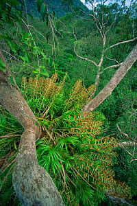 Giant orchid (Grammatophyllum speciosum) growing high in the rainforest canopy. This species is the world's largest orchid, with flowering stalks reaching 3 m long. Gunung Palung National Park, Borneo... - Tim Laman