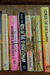 "Huntsman spider (Sparassidae) resting on paperback books including ""Kiss of the Spider Woman"" on a shelf at the rainforest reseearch station in Gunung Palung National Park, Borneo, West Kalimantan, In... - Tim Laman"