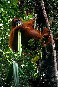 Adult female Bornean orangutan (Pongo pygmaeus) feeding on the celery like stems of the Pandanus plant. Gunung Palung National Park, Borneo, West Kalimantan, Indonesia  -  Tim Laman
