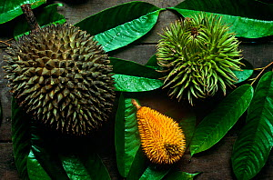 Comparison shot of three different species of Durian fruit (Durio sp) Left is cultivated Durian from the village, Center is a wild durian favoured by hornbills, Right is a wild durian favoured by oran...  -  Tim Laman