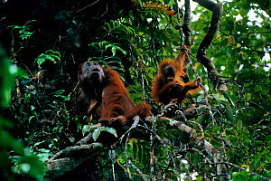 Adult female Bornean orangutan (Pongo pygmaeus) with juvenile playing on vine nearby in rainforest canopy, Gunung Palung National Park, Borneo, West Kalimantan, Indonesia - Tim Laman