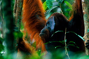 Adult male Bornean orangutan (Pongo pygmaeus) in rainforest canopy, Gunung Palung National Park, Borneo, West Kalimantan, Indonesia - Tim Laman