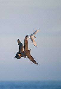 Arctic Skua (Stercorarius parasiticus) pair stealing fish from Arctic Tern (Sterna paradisaea) Shetland Islands, Scotland, UK, July.  (non-ex)  -  Andrew Parkinson