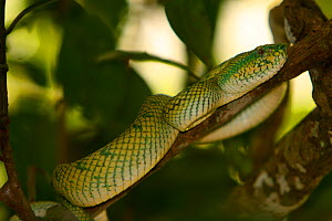 The Wagler's / Temple Pitviper (Tropidolaemus wagleri) that bit Jeff Wilson (Director) and hospitalised him, during the filming of Colugos in Baku National Park, Borneo, for BBC Planet Earth series. - Jeff Wilson