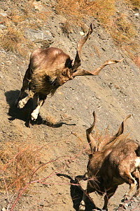 Two Markhor (Capra falconeri) males fighting during the rut, Hindu Kush mountains, North West frontier, Pakistan, photographed whilst on location filming for BBC Planet Earth series, 2005  -  Jeff Wilson