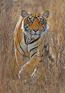 Bengal tiger (Panthera tigris tigris) stalking deer, Ranthambore NP, Rajasthan, India, Winner of the Gerald Durrell Award for Endangered Wildlife at the Veolia Environment Wildlife Photographer of the...  -  Andy Rouse