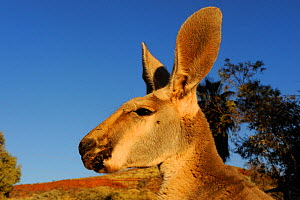 Head portrait of Red Kangaroo (Macropus rufus) in profile, Pilbara region, Western Australia  -  Jouan & Rius