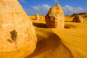 Limestone formations in the Pinnacles desert, Nambung National Park, Western Australia. August 2009  -  Jouan & Rius