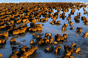 Collection of Stromatolites, in shallow water, Hamelin pool, Shark bay, Western Australia. August 2009  -  Jouan & Rius