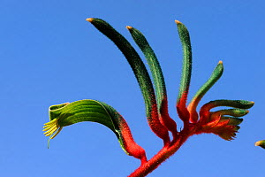 Close up of Red and green kangaroo paw flower (Anigozanthos manglesii) Kalibarri National Park, Western Australia  -  Jouan & Rius