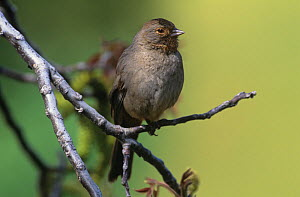 California Towhee (Pipilo crissalis), California, USA.  -  Visuals Unlimited