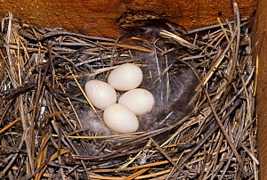 Violet-green Swallow (Tachycineta thalassina) nest with four eggs, North America.  -  Visuals Unlimited