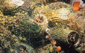 Scaled Worm (Serpulorbis squamigerus) marine snail shell with a mucus feeding net, California, USA, Pacific Ocean.  -  Visuals Unlimited