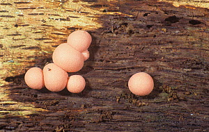 Slime Mold (Lycogala epidendrum) Myxomycetes, North America. - Visuals Unlimited