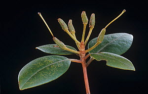 Rhododendron immature fruits after flowering. - Visuals Unlimited