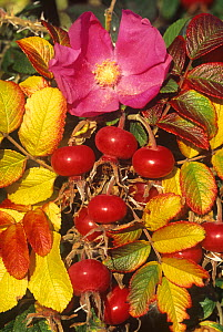 Rose (Rosa rugosa) flower, rose hips and autumn leaves, North America.  -  Visuals Unlimited