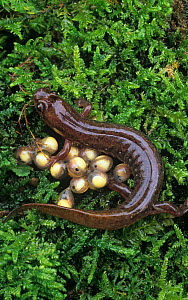 Dusky Salamander (Desmognathus fuscus) female with her eggs, Eastern North America. Note the larvae inside the eggs. - Visuals Unlimited