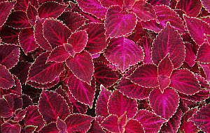 Variegated leaves of Coleus plant  -  Visuals Unlimited