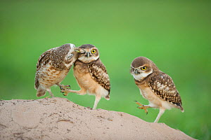 Two newly fledged burrowing owl chicks (Athene cunicularia) one being groomed by its mother (far left) Pantanal, Brazil. WINNER: Eric Hosking Award portfolio image 4/6 - Wildlife Photographer of the Y...  -  Bence Mate