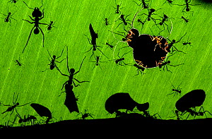 Leafcutter ants (Atta sp) colony harvesting a banana leaf, Costa Rica. OVERALL WINNER: Wildlife Photoghrapher of the Year 2010 from Eric Hosking Award portfolio image 2/6 - Bence Mate