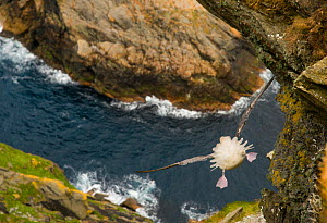 Fulmar (Fulmarus glacialis) rear view of bird hanging in air over steep cliffs, Shetland Islands, Scotland, UK.  HIGHLY COMMENDED - Animals in their environment -  Wildlife Photographer of the Year c...  -  Andrew Parkinson