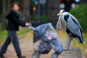 Grey heron (Ardea cinerea) perched on stone wall  in urban park, with people walking behind, Paris. France, November.  -  Laurent Geslin
