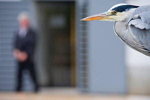 Grey heron (Ardea cinerea) portrait in urban park, Paris. France, November.  -  Laurent Geslin