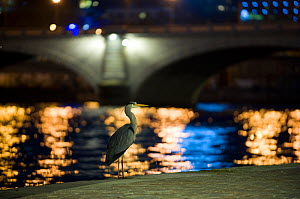 Grey heron (Ardea cinerea) at night near the Seine river in Paris, France, November.  -  Laurent Geslin
