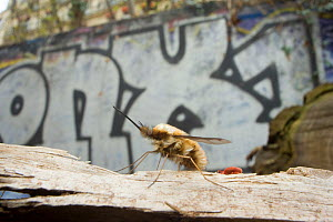 Common bee fly (Bombylius major) at rest with graffiti in the background, Paris, France. - Laurent Geslin