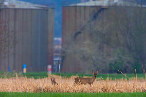 Roe deer (Capreolus capreolus) grazing in scrubland, with factory behind, on the outskirts of a city, Switzerland, April 2010.  -  Laurent Geslin