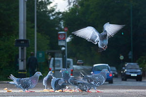 Flock of Feral pigeons (Columba livia) feeding on bread, landing / taking off in a busy urban street, London, England, UK, October 2008. - Laurent Geslin
