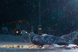 Flock of Feral pigeons (Columba livia) feeding on bread in an urban street, in the rain, London, England, UK, October 2008. - Laurent Geslin